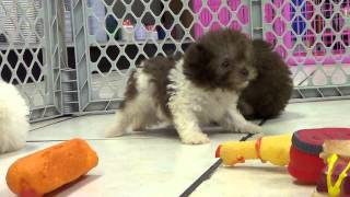 Toy Poodle, Puppies, For, Sale, In, Edmond, Oklahoma, OK, Cleveland, Comanche, Canadian, Rogers, Pay