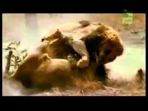 Sư tử đánh nhau