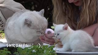 Big British shorthair cat Apollo is picnicking with kittens.