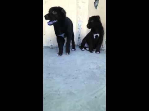 Afghan Koochi Pups