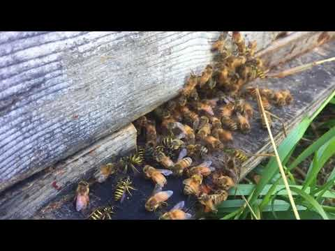 Commercial Beekeeper's Blog - Honey bees defending their entrance from yellow jacket wasps