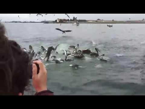 Peruvian Boobies Diving Boatside