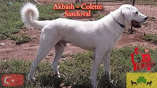 Akbash  Colette Sandoval   HOD #16