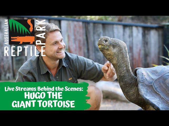 FEEDING HUGO THE GIANT GALAPAGOS TORTOISE  (LIVE FOOTAGE) | AUSTRALIAN REPTILE PARK