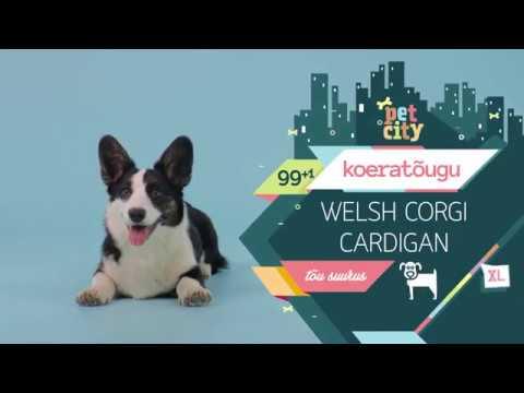 Welsh Corgi Cardigan | PetCity 100 koeratõugu - YouTube