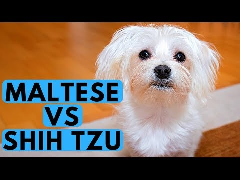 Shih Tzu vs Maltese Difference