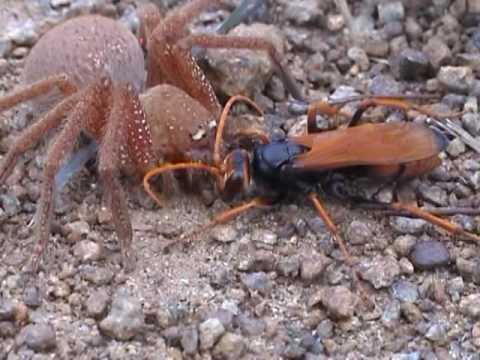 Australian Wasp Vs Tarantula