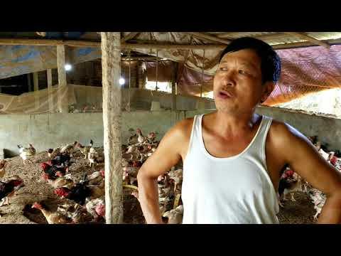 Gà Đông Tảo Lai đã Hết Mốt Giờ Thành ế ẩm!