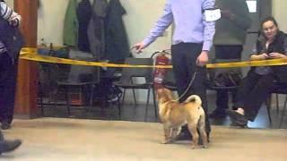 Midland Shar Pei Club Show, Puppy Walk Feb 2011