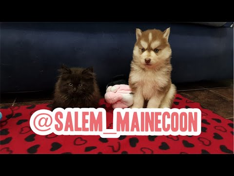 Uma Maine coon e 7 Huskies Siberianos!!