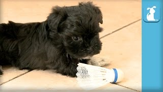 Sweet Havanese Puppy Chomps On Birdie - Puppy Love