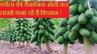 पपीता की वैज्ञानिक खेती कर लाखो कमा रहे है किसान ! papaya farming in india earn more money |