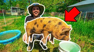 I Bought RARE BABY PIGS for My BACKYARD FARM!!!