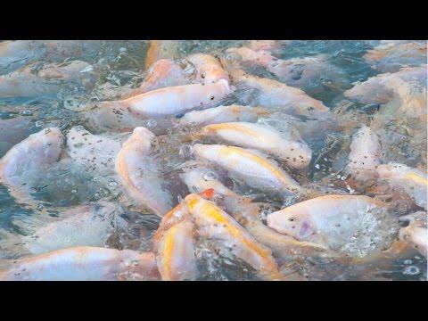 Criação de Peixes - Peixes