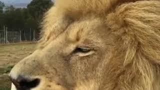Лев / Lion [HD]