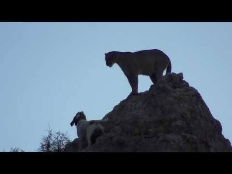 Mountain Lion Hunting With Hounds In Arizona