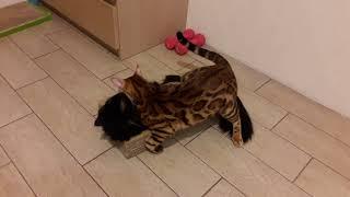 бенгальский кот играет со своей подругой