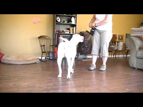 deaf-dog-training---positive-interrupter-to-get-attention