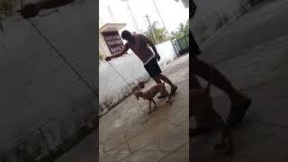 Dog training My bhaira (chippiparai)dog just 70days puppy