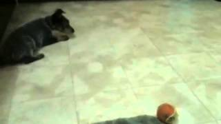オーストラリアンキャトルドッグの子犬.