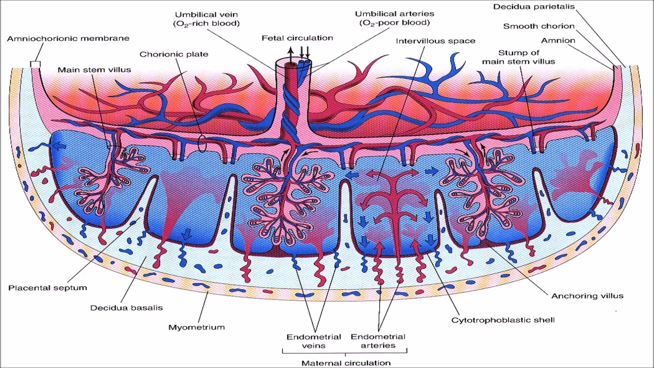 small resolution of  placentalcirculation placenta