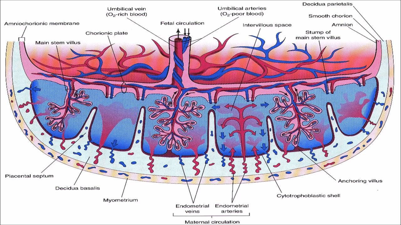 hight resolution of  placentalcirculation placenta