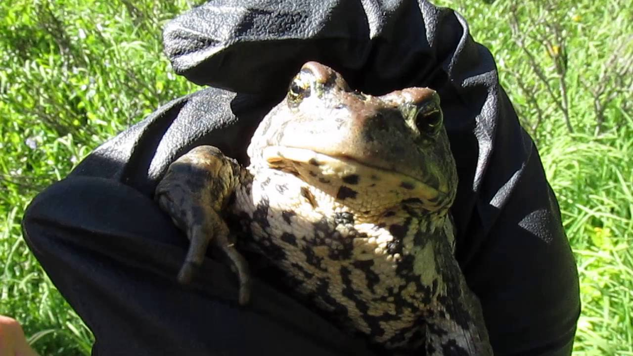 Boreal toad release call youtube boreal toad release call sciox Image collections