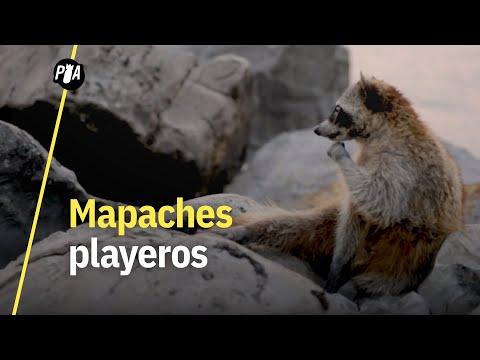 Miramar: la playa que invadieron los mapaches en Tamaulipas