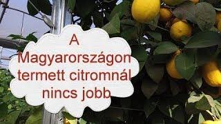 Parazitakbol szarmazo citrom
