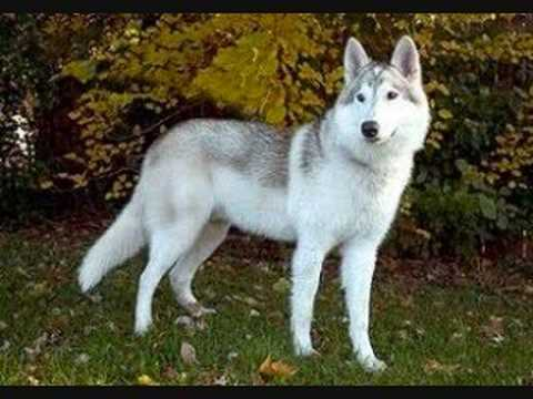American Indian Wolf Dog For Sale