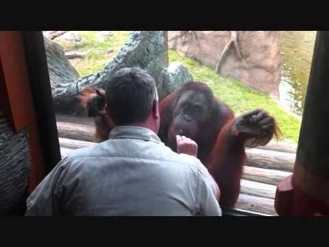 Orangutan Doing Tricks At Busch Gardens Tampa