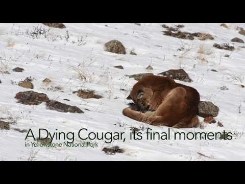 A Dying Cougar in Yellowstone