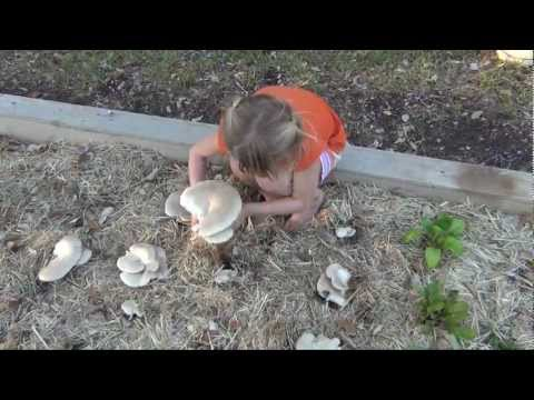 How to grow massive oyster mushrooms in your straw garden part 1 cp fun music videos - Growing oyster mushrooms profit ...