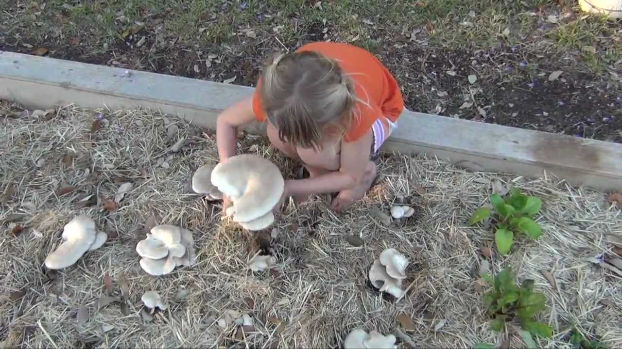 Kitchen Garden Mushrooms How To Grow Massive Oyster Mushrooms In Your Straw Garden Part 1