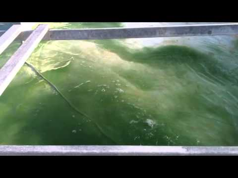 SPIRULINE ALGOSUD Ensemencement bassin