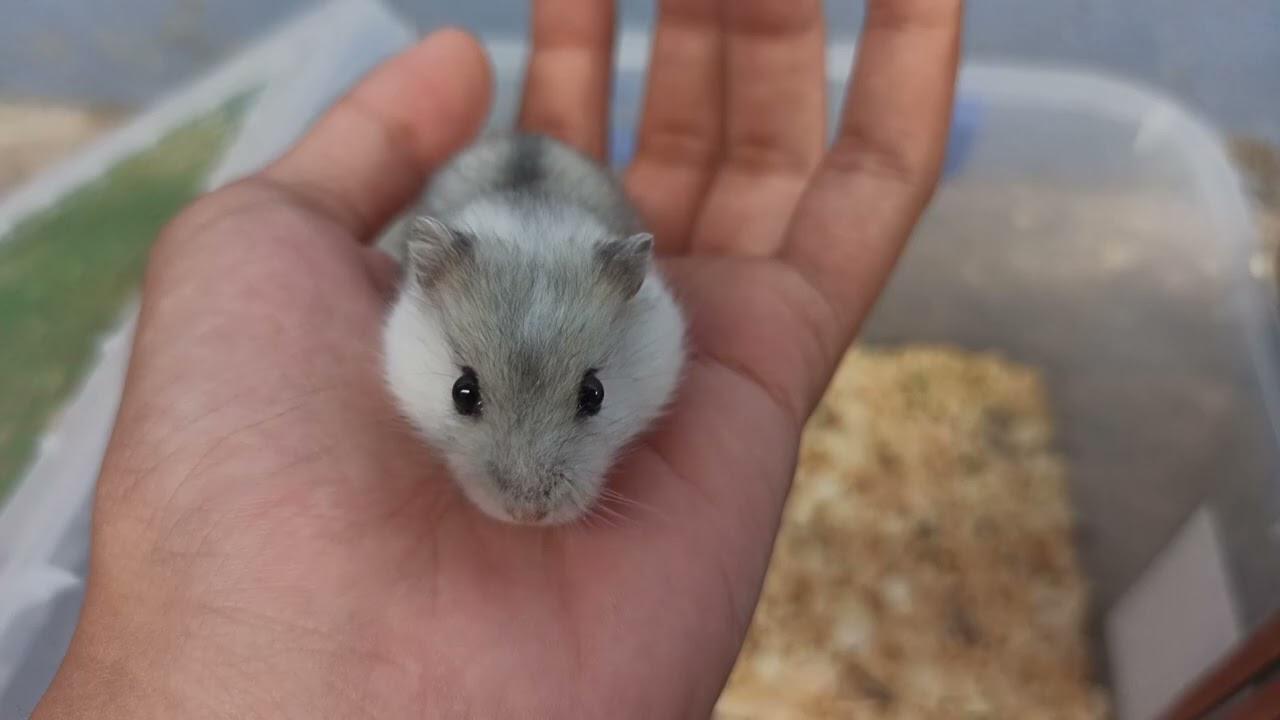 Bé hamster với màu siêu lạ