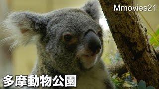 多摩動物公園のコアラ。 ユーカリを食べています。 (2016年4月14日(木)...