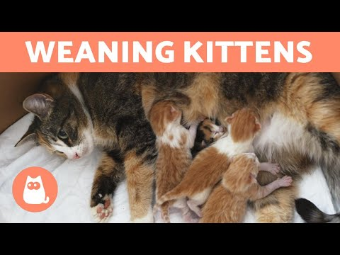 Pet Corner - WEANING KITTENS - Both with Mother and Bottle Fed