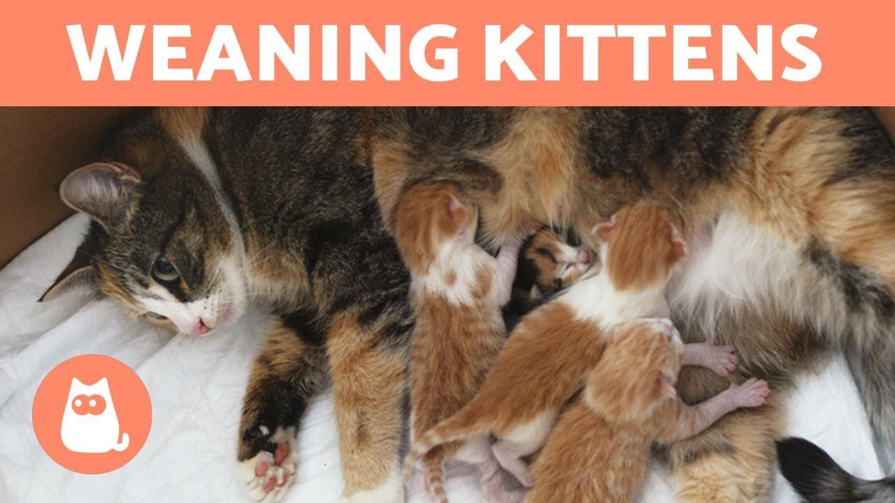 Weaning Kittens Both With Mother And Bottle Fed Youtube