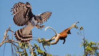 MOTHER EAGLE CATCH MONKEY ON TREE AND FEED HER BABY | Life Of Eagle