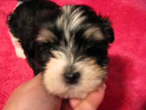 About Havanese, non shedding dogs, small, puppies, puppy, pups, AKC Breeders