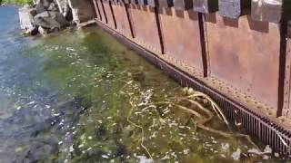 다리밑 맑은강 에 민물 장어 통발을 던졌더니 이런  대물이 ? #장어통발 낚시
