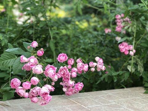 Растение дрок фото -