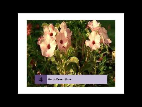 Sturts Desert Rose - Flowers For Everyone