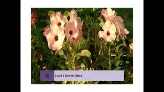 Sturts Desert Rose - Flowers For Everyone