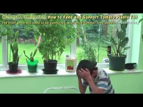 How To Feed And Support Tomato Plants Grow Tomatoes Indoors In The Uk 5