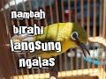 Pleci Betina Penambah Birahi Pleci Jantan  Mp3 - Mp4 Download