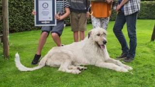 Самый длинный хвост среди собак у ирландского волкодава из Бельгии