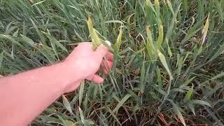НАХИМИЧИЛИ. Ошибка при опрыскивании пшеницы.