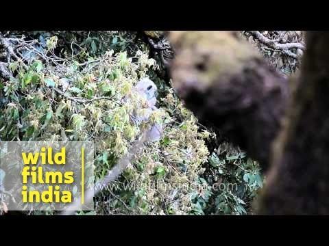 Langurs eat fresh leaf buds on an oak tree